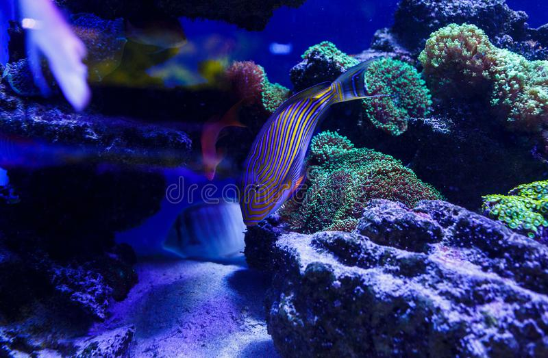 Beautiful sea fishes captured on camera under the water under dark blue natural backdrop of the ocean or aquarium. stock photos