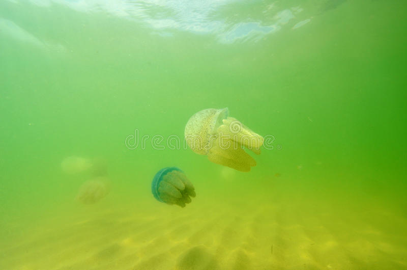 Download Beautiful Sea Jellyfish Floating In The Sea Of Thailand, Underwa Royalty Free Stock Photo - Image: 29011205