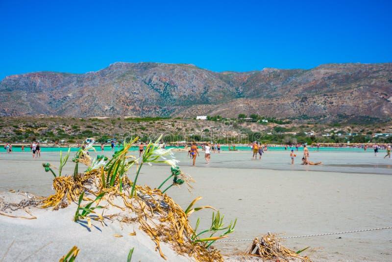 Beautiful sea lilies, growing directly on the sand. Beach Elafonisi. South Crete. Greece stock photo