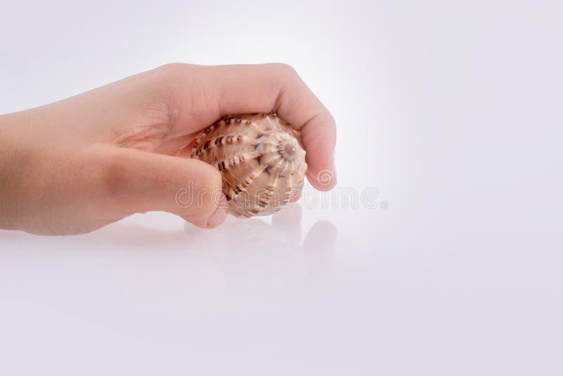 Beautiful sea shell. Hand holding Beautiful sea shell on a white background stock photo
