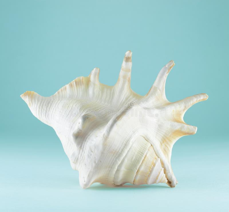 Beautiful sea shell on turquoise background. Souvenir from vacation. Pure nature stock photo