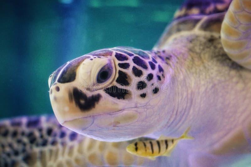 Beautiful sea turtle close up stock image