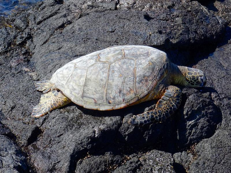 Beautiful sea turtle resting at Mahai`ula beach stock images