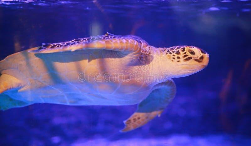 Beautiful sea turtle swimming in an aquarium.  stock image