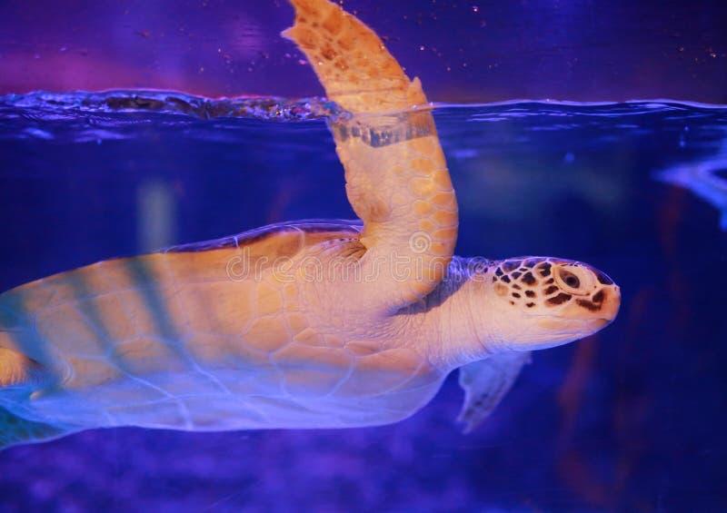 Beautiful sea turtle swimming in an aquarium.  stock photo