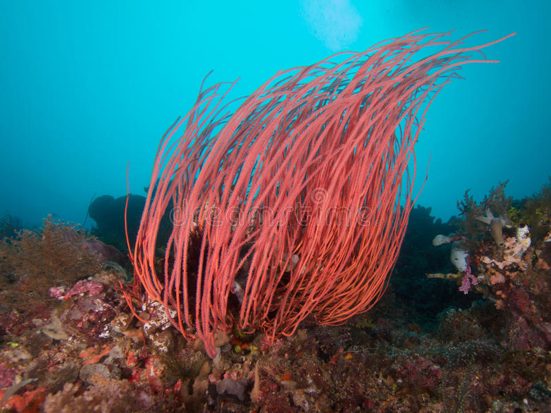 Beautiful sea whips abound in Raja Ampat, Indonesia. Beautiful soft corals like this red sea whip abound on the spectacular reefs of Raja Ampat, Wonderful royalty free stock photos