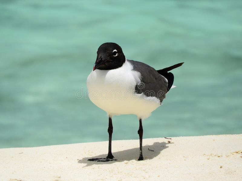 Beautiful seabird in the caribbean sea stock photo
