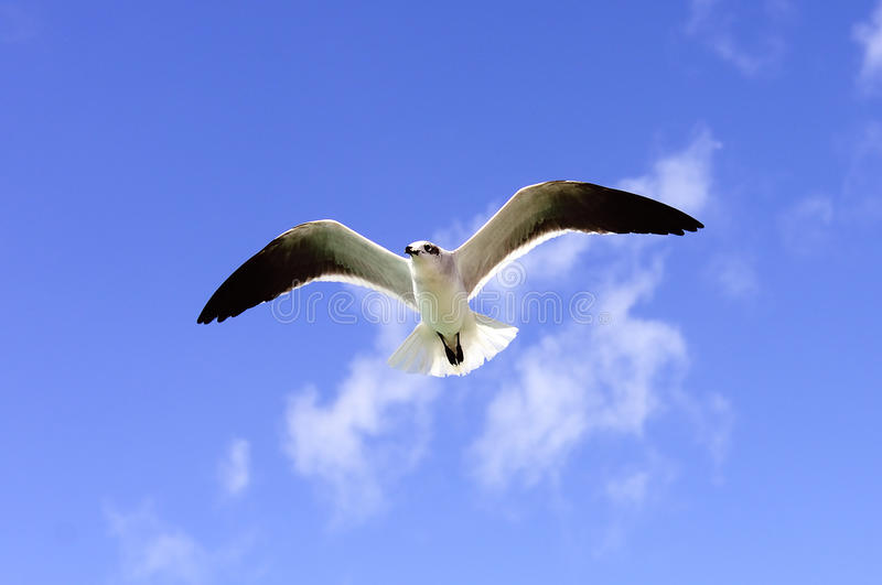 A Beautiful Seagull Stock Images