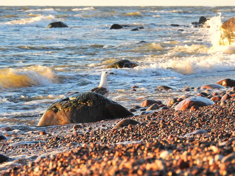 Seagull neat stone on Baltic sea coast, Lithuania stock images