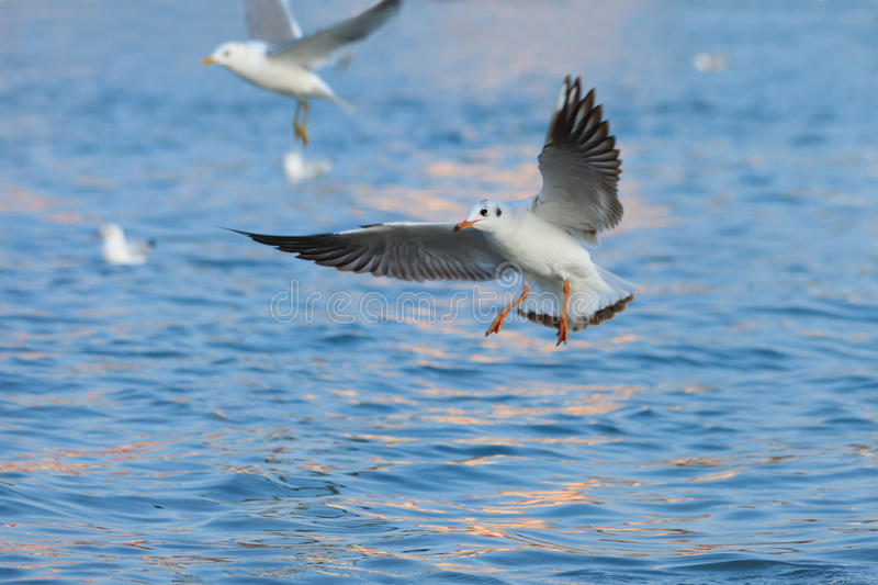 Beautiful seagull hovering over the water. Surface royalty free stock photo