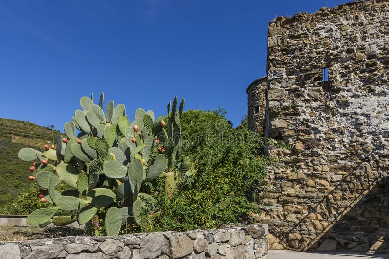 The Castle of Riomaggiore and a plant of prickly pears, Cinque Terre, Liguria, Italy royalty free stock photos
