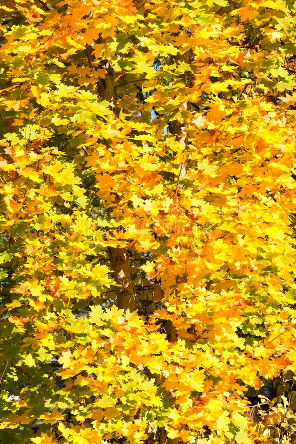 Beautiful Seasonal Yellow And Green Autum Tree - Close Up View stock photos