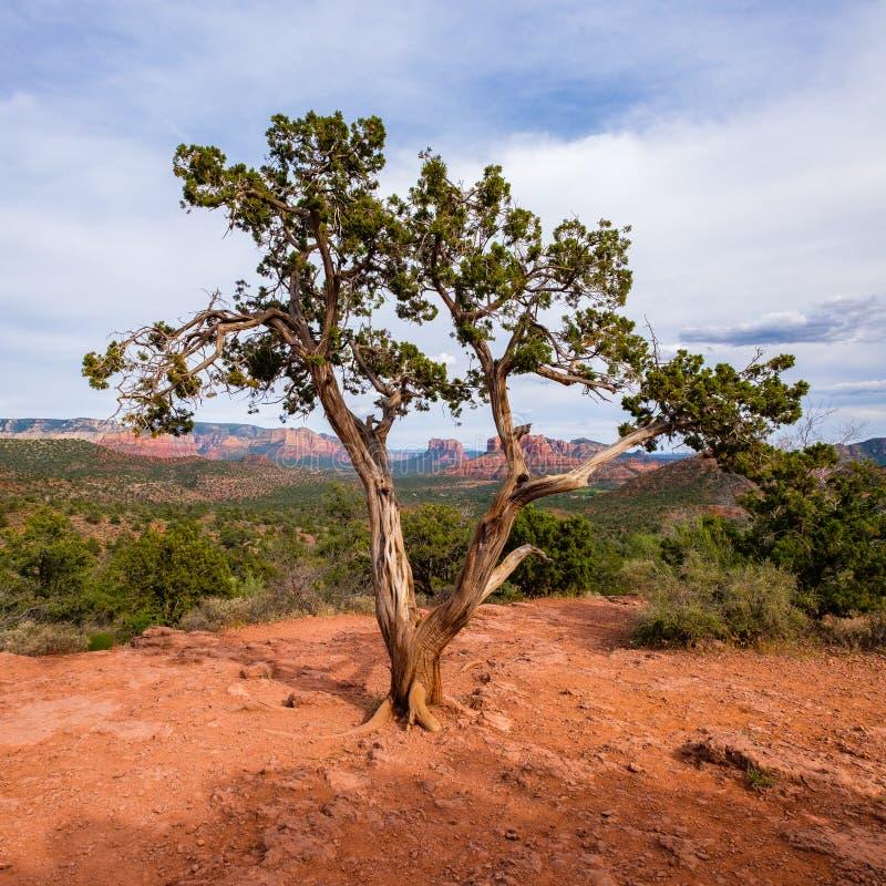 Beautiful Sedona juniper stock images