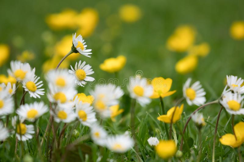 Beautiful selective focus shot of daisies and yellow buttercup flowers in the green grass. royalty free stock image