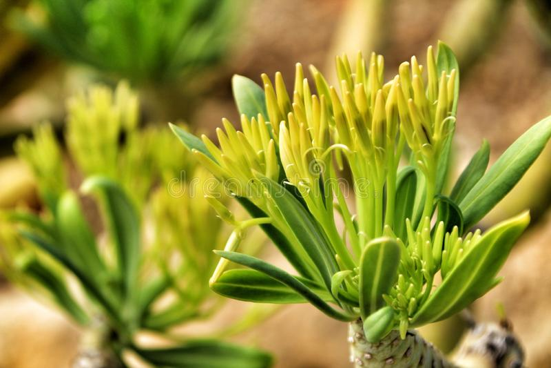Beautiful Senecio Anteuphorbium flowers in the garden. In Autumn royalty free stock photos