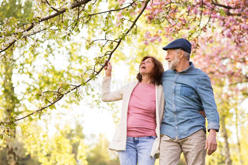 Beautiful senior couple in love outside in spring nature. Beautiful senior couple in love on a walk outside in spring nature under blossoming trees royalty free stock image