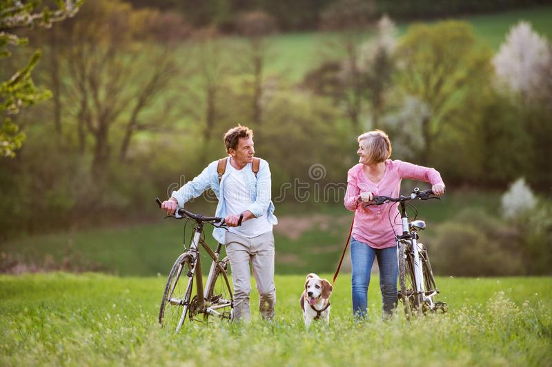 Beautiful senior couple with bicycles and dog outside in spring nature. Beautiful senior couple outside in spring nature, walking with a dog and bicycles on stock photos