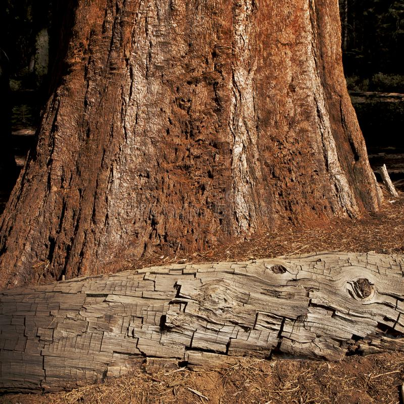 Beautiful sequoia tree bark textures - dead tree and alive tree. royalty free stock image