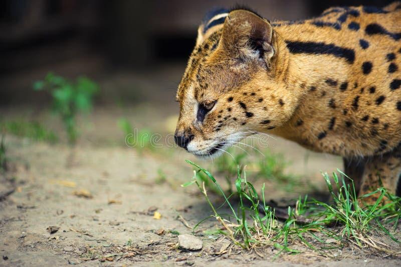 Beautiful serval cat. Africa, african, alert, animal, big, caracal, carnivore, carnivorous, closeup, cute, ear, eyes, feline, felis, fierce, focused, fur, gaze royalty free stock image