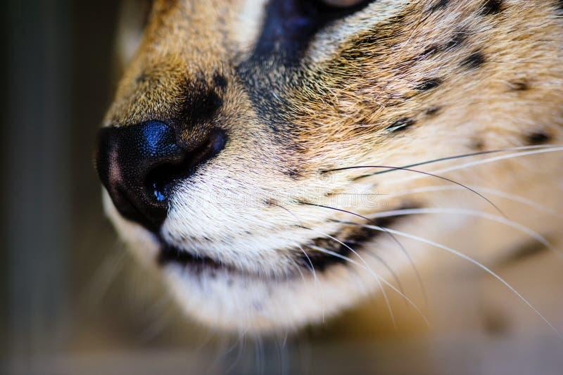 Beautiful serval cat. Africa, african, alert, animal, big, caracal, carnivore, carnivorous, closeup, cute, ear, eyes, feline, felis, fierce, focused, fur, gaze royalty free stock photos