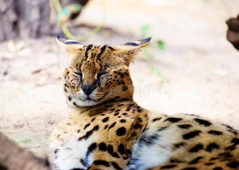 Beautiful serval cat. Africa, african, alert, animal, big, caracal, carnivore, carnivorous, closeup, cute, ear, eyes, feline, felis, fierce, focused, fur, gaze stock image