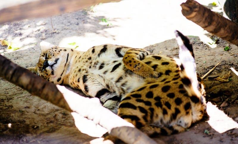 Beautiful serval cat. Africa, african, alert, animal, big, caracal, carnivore, carnivorous, closeup, cute, ear, eyes, feline, felis, fierce, focused, fur, gaze stock photos