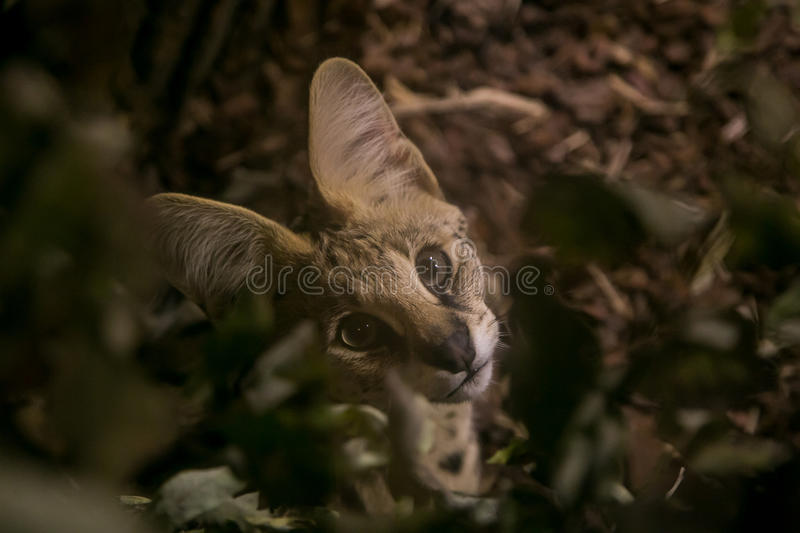Beautiful serval kitten stock images