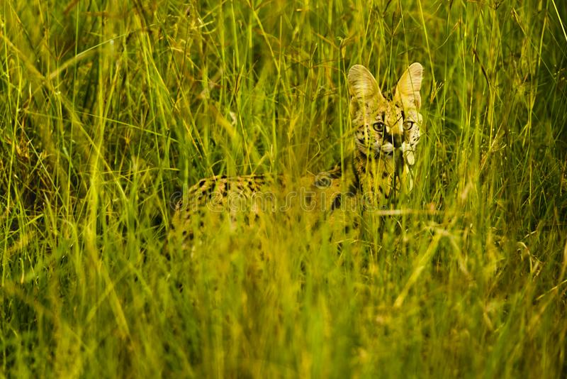 Beautiful Serval Wild Cat royalty free stock photo