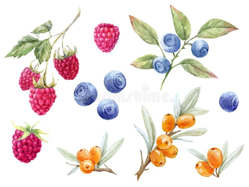 Watercolor forest berries royalty free illustration