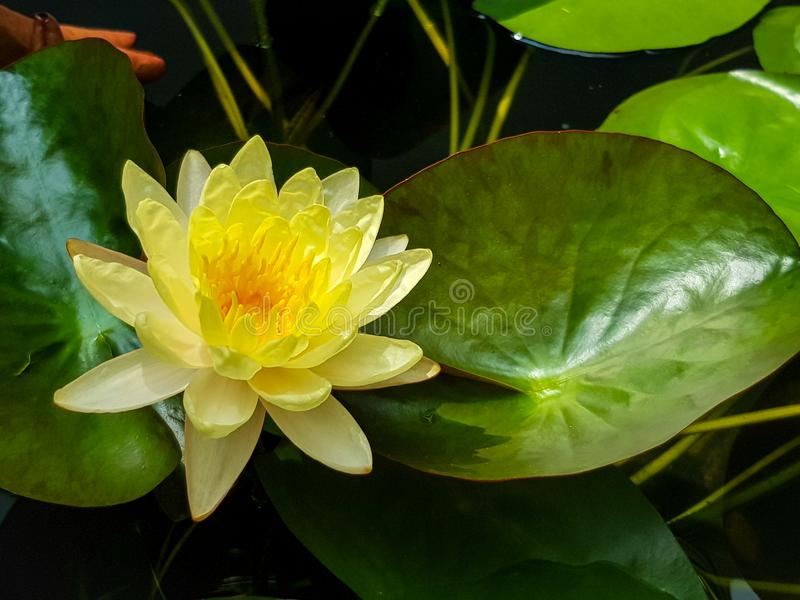 Beautiful shades of soft bright yellow lotus or water lily flower blooming among abundance green leaves and black water background stock photography