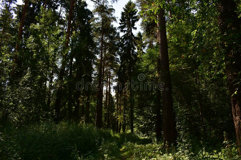 Beautiful shady pine forest road on a summer day, intertwined branches, a green carpet is spread on the ground royalty free stock photos