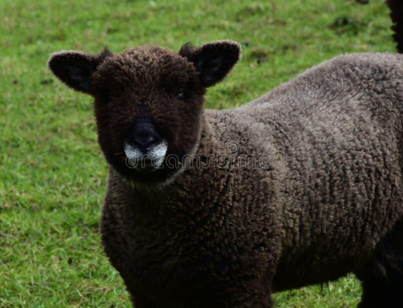 Beautiful Shaggy Brown Ryeland Sheep on a Farm royalty free stock image