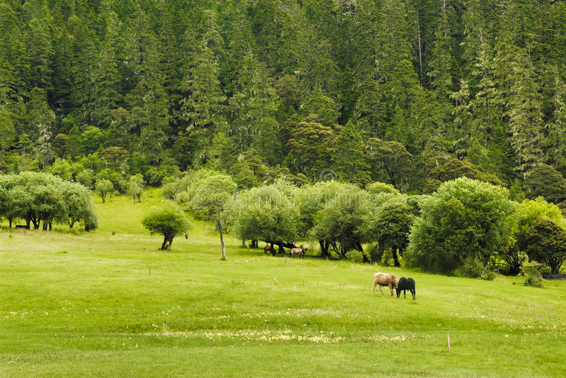 Beautiful shangri-la grassland pastures. This is a beautiful grassland pasture in Shangri-La stock image