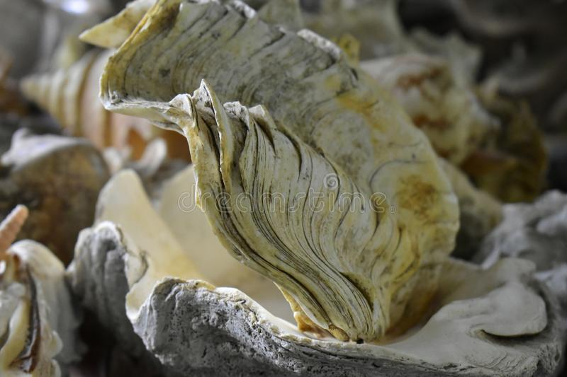 Beautiful shells are collectibles. Natural beauty. Beautiful shells are old collectibles because they have been collected for a long time. To see the beauty of stock photos