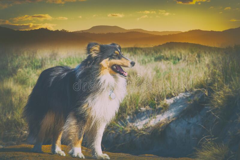 Beautiful Sheltie dog standing in open field royalty free stock photography