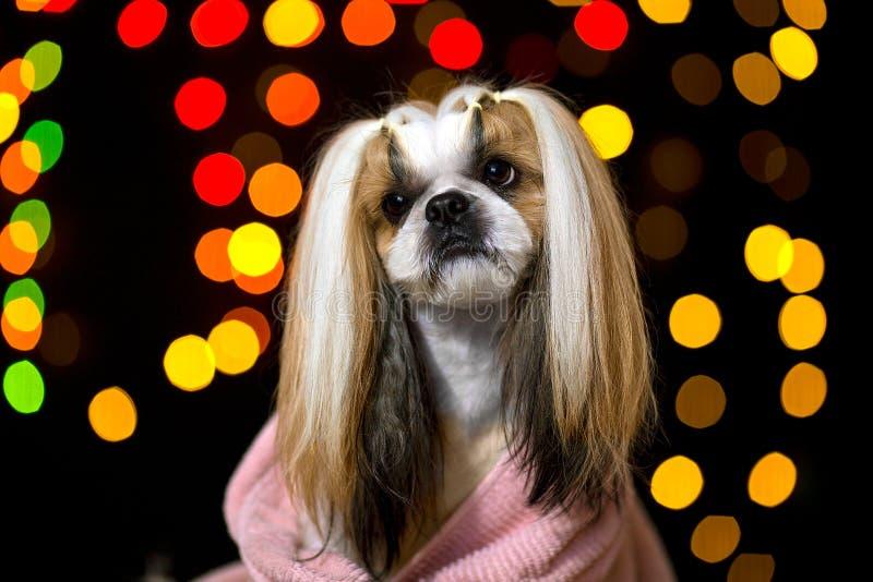 Beautiful shih-tzu dog portrait fashion style royalty free stock photos
