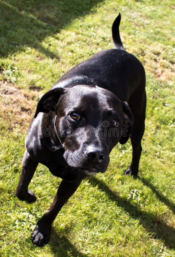 Beautiful shiny black Labrador Staffordshire Bull Terrier crossbreed dog with sad eyes. On grass royalty free stock photography
