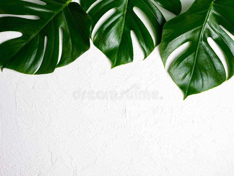 Monstera leaves on a  background. royalty free stock image