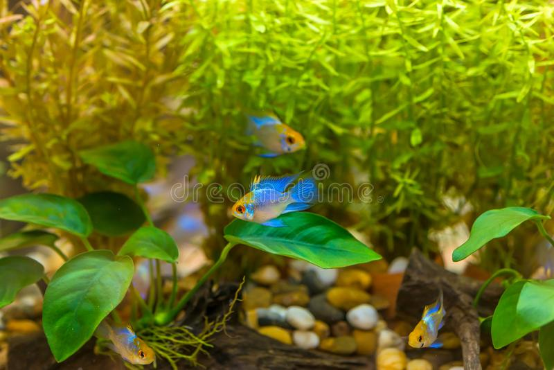Short body Ram cichlid or Mikrogeophagus ramirezi aquarium dwarf fish butterfly cichlid in fish tank royalty free stock photography