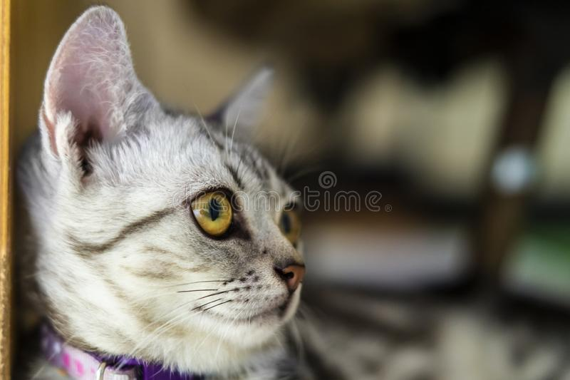 Beautiful short hair cat lying on the floor at home royalty free stock photography
