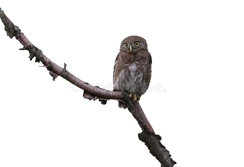 Asian barred owl. Beautiful shot of  asian barred owl in morning light royalty free stock photography