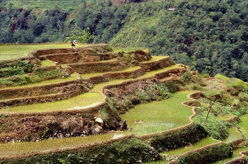 Beautiful shot of the Banaue rice terraces with a forested hill in the background in Philippines royalty free stock image