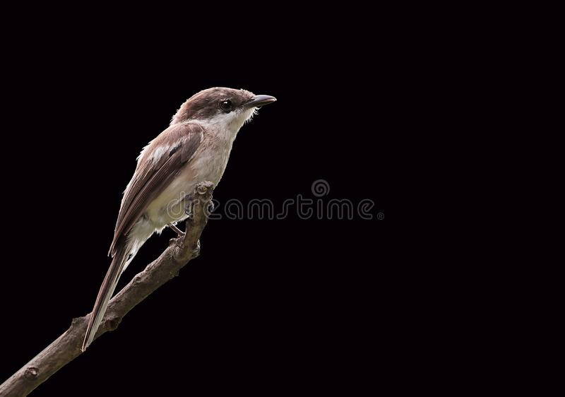 Bar-winged flycatcher stock photos