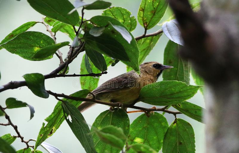 Black chinned babbler royalty free stock images
