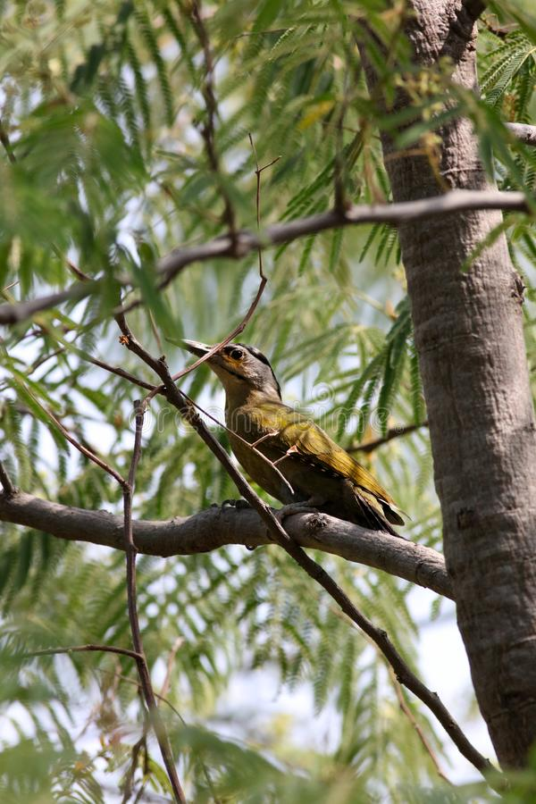 Black naped woodpecker royalty free stock photography