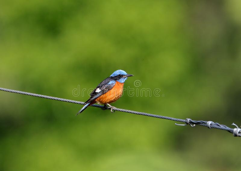 Blue-capped rock thrush stock photography