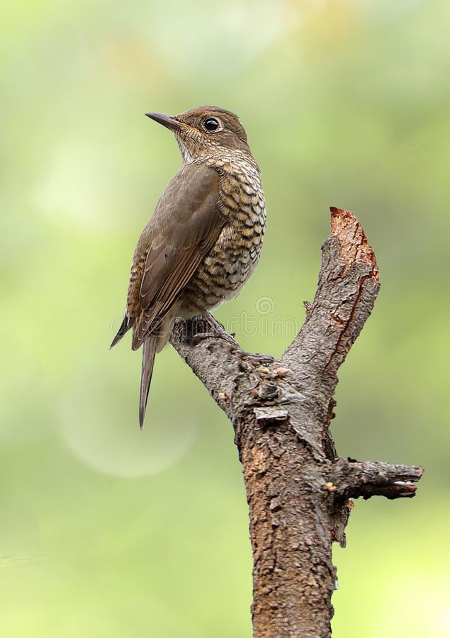 Blue-capped rock thrush stock images