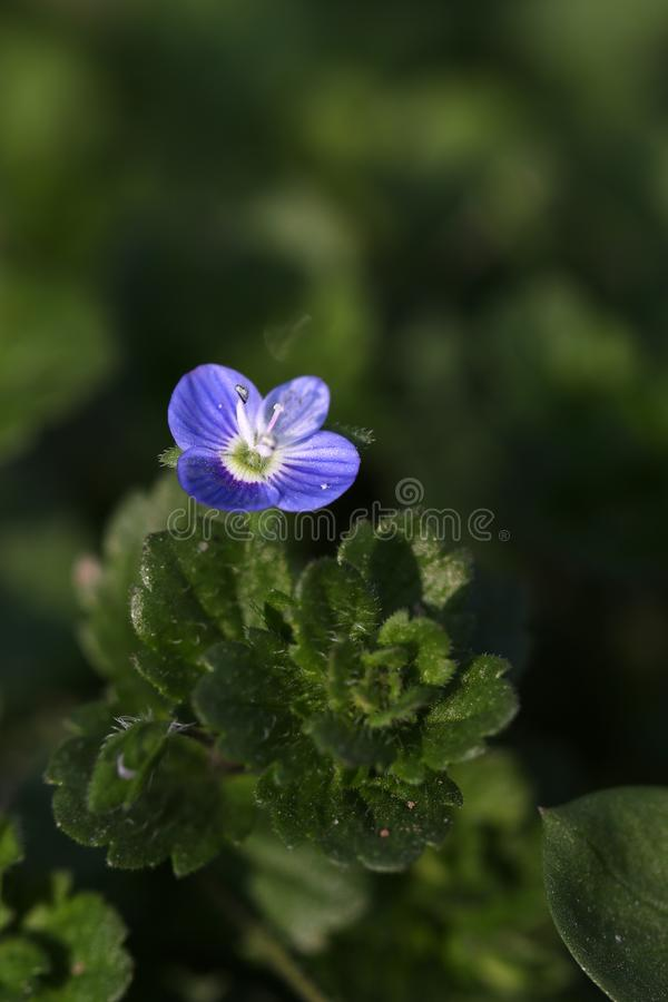 Blue weed flower. Beautiful shot of blue weed flower in jungle royalty free stock image