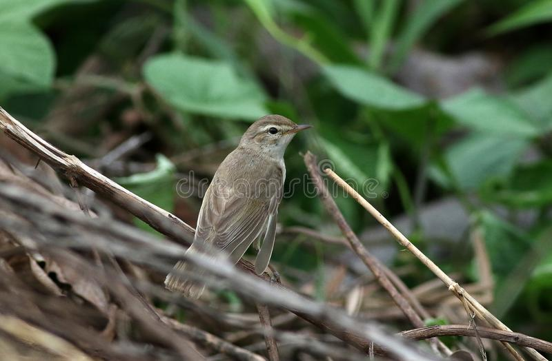 Booted warbler royalty free stock photo