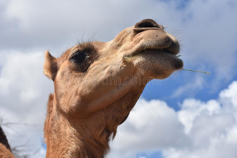 Beautiful Shot of Camel on a Beautiful Day stock images